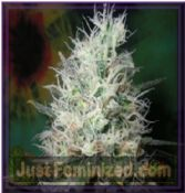 British Columbia Afghani Dream Feminised Cannabis Seeds